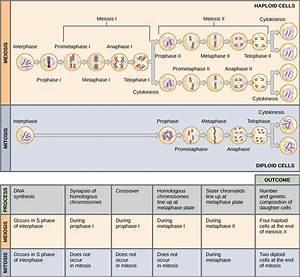 Mitosis Meiosis Venn Diagram