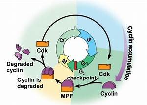 Regulation Of The Cell Cycle  Interactive Tutorial