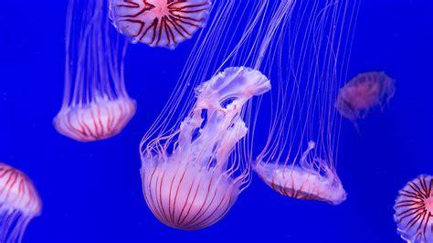 Captaron unas particulares medusas en Filipinas y los ...