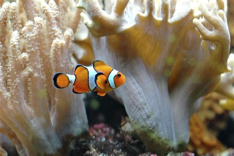 unbelievably fascinating facts  clownfish