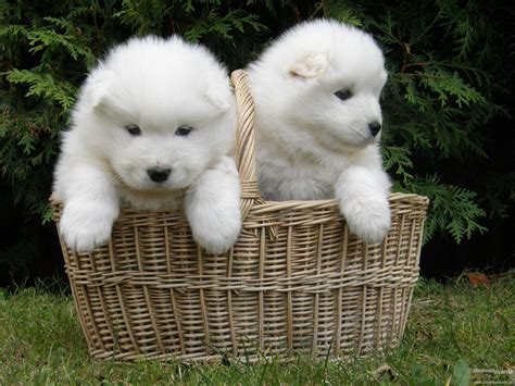 do samoyeds shed more than huskies samoyed wallpapers wallpaper cave