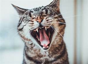 Is It Normal For Cats To Lose Their Teeth