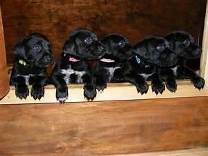 Lab Pointer (Labrador x Pointer Mix) Info, Puppies ...