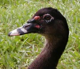 Duck Muscovy Ducklings