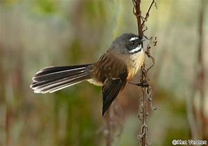 Native Birds - Status Native Endemic Birds Unique New Zealand