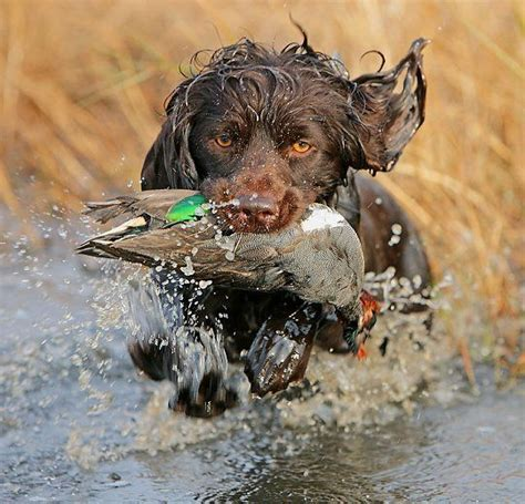 25 best ideas about boykin spaniel on pinterest boykin