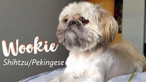 Lhasa Apso Shih Tzu Mix Shedding by Wookie The Shih Tzu Pekingese Mix