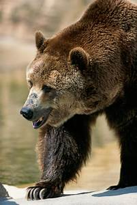 Grizzly Bears Moving into Canada's Polar Bear Capital  Grizzly
