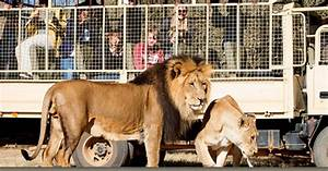 Lion mauls American tourist to death during South African ...