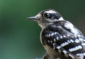 Baby Downy Woodpecker Close Up – Zubin's Photography