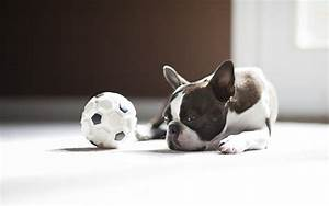 French Bulldog Puppies for Sale, Breeders and Price