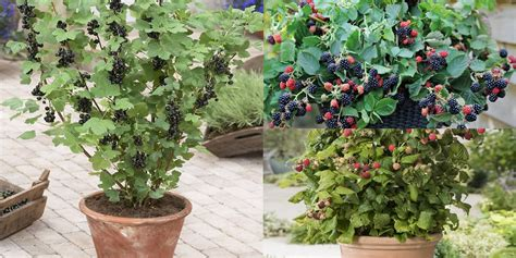 grow raspberries in a pot 8 of the best berries to grow in containers balcony garden web