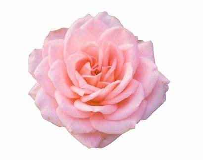 Pink Rose Transparent Flower Blooming Searchpng Background