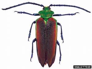 Wood Borer Of Coigue Cheloderus Childreni Coleoptera