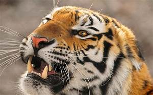 Fierce tiger / 2560 x 1600 / Animals / Photography ...