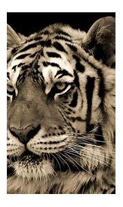 White Tiger HD Wallpaper | Background Image | 1920x1080 ...