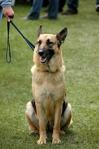 Filegerman shepherd dog sitting leashjpg wikimedia commons for Puppy dog sitter