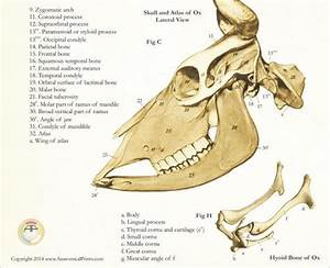 Pig Styloid Process