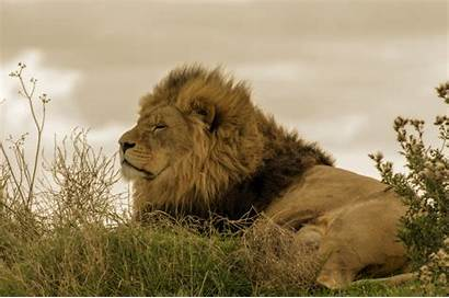 Lion African Domain Animal Publicdomainpictures