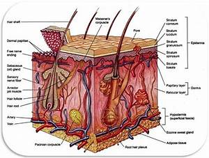 Skin Integumentary System Archives