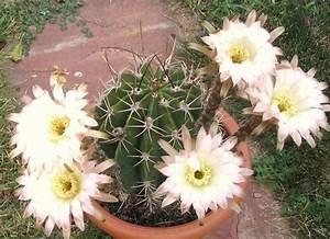 Echinopsis Leucantha Rare Cactus Plant Flowering Succulent
