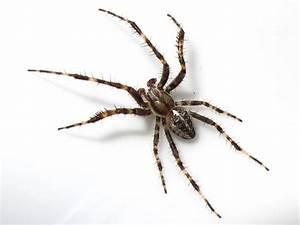 BugBlog: Male garden spider