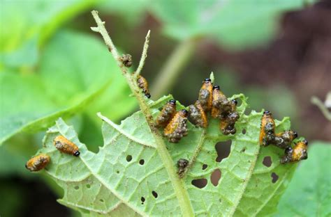 Halfeaten Husk Tomato Leaves Hide Beetle Larvae Use