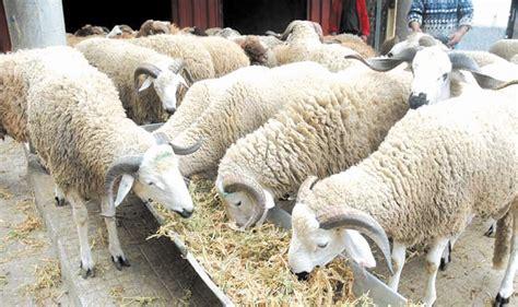 chambre agriculture 87 l offre en cheptel ovin et caprin dépasse largement la