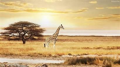 Giraffe Desktop Wallpapers Backgrounds Baltana