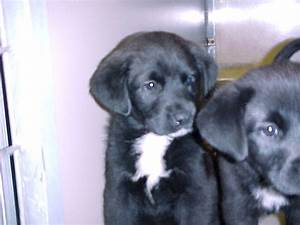 Pics For > Black And White Lab Puppy