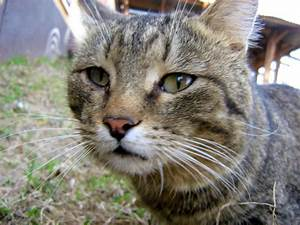 Sad-Eyed Brown Mackerel Tabby Old Cat — Russian Cats Pictures