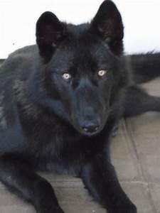 wolf dog pups only 1 black girl 1 black boy left | South ...