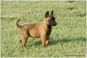 belgian malinois facts pictures puppies temperament breeders price information animals