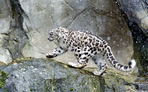 Snow Animal Wallpaper - snow leopard in the snow wallpaper animal wallpapers