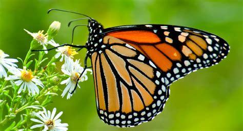 Gmo-linked Herbicide May Doom Monarch Butterflies