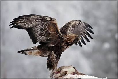 Golden Eagle Eagles Wallpapers Birds Wallpapercave Wide