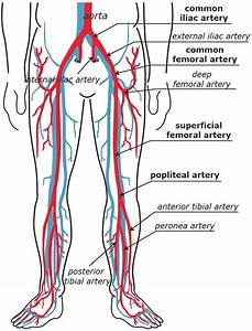 Lower Extremity Artery Anatomy