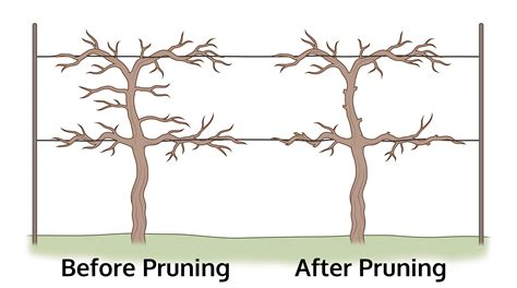 pruning grape vines fall how to prune grapes how to trim a grapevine