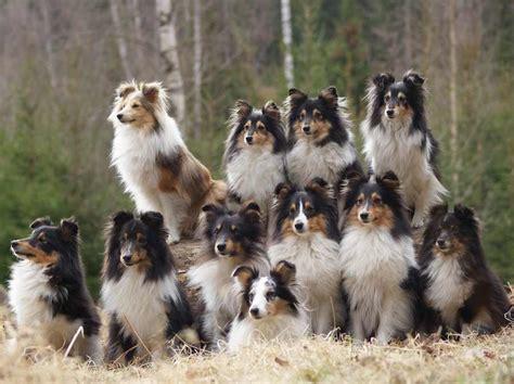 shetland sheepdog sheltie  research lab