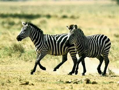 Zebra Wallpapers Dashing Adssss