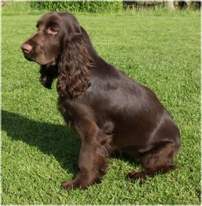 field spaniel facts pictures breeders puppies temperament shedding animals breeds