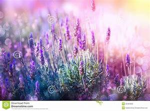 Lavender Stock Photography - Image: 35464922