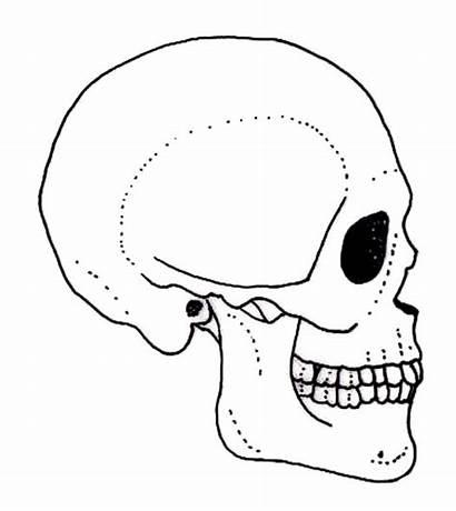 Skull Side Human Drawing Face Profile Skeleton