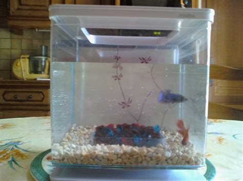 aquarium pour betta splendens vends betta splendens avec ou sans aquarium 91