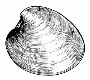 Clam Shell Illustration