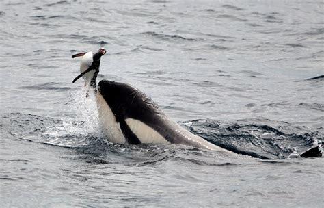 killer whales wolves   seas   eat