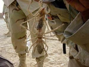 Afghanistan Desert Spiders