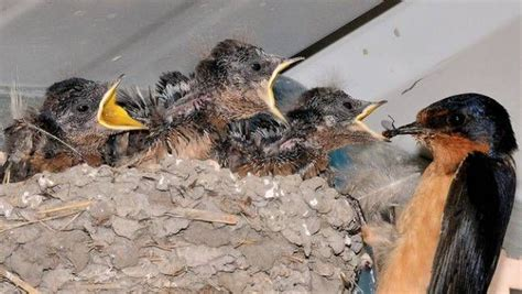 what do barn swallows eat how to attract bug birds to your garden mnn