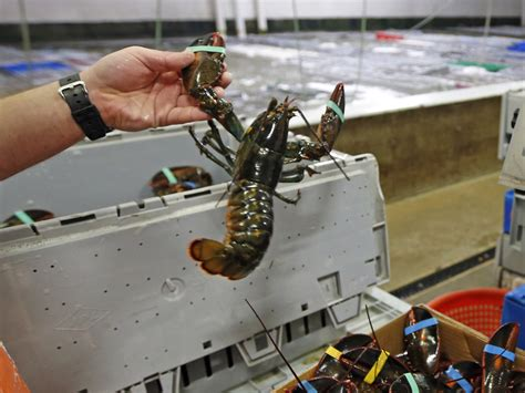 Why The Mild Winter Is Bad News For Lobsters  Cbs News