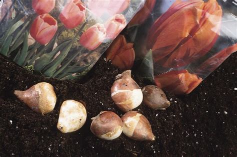 autumn plants planting fall bulbs how to plant bulbs